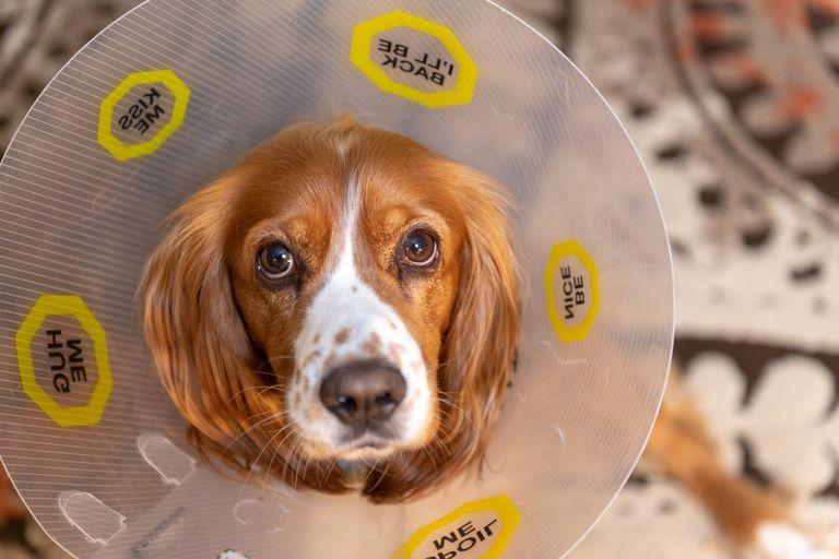 Cocker spaniel dog with plastic dog-cone