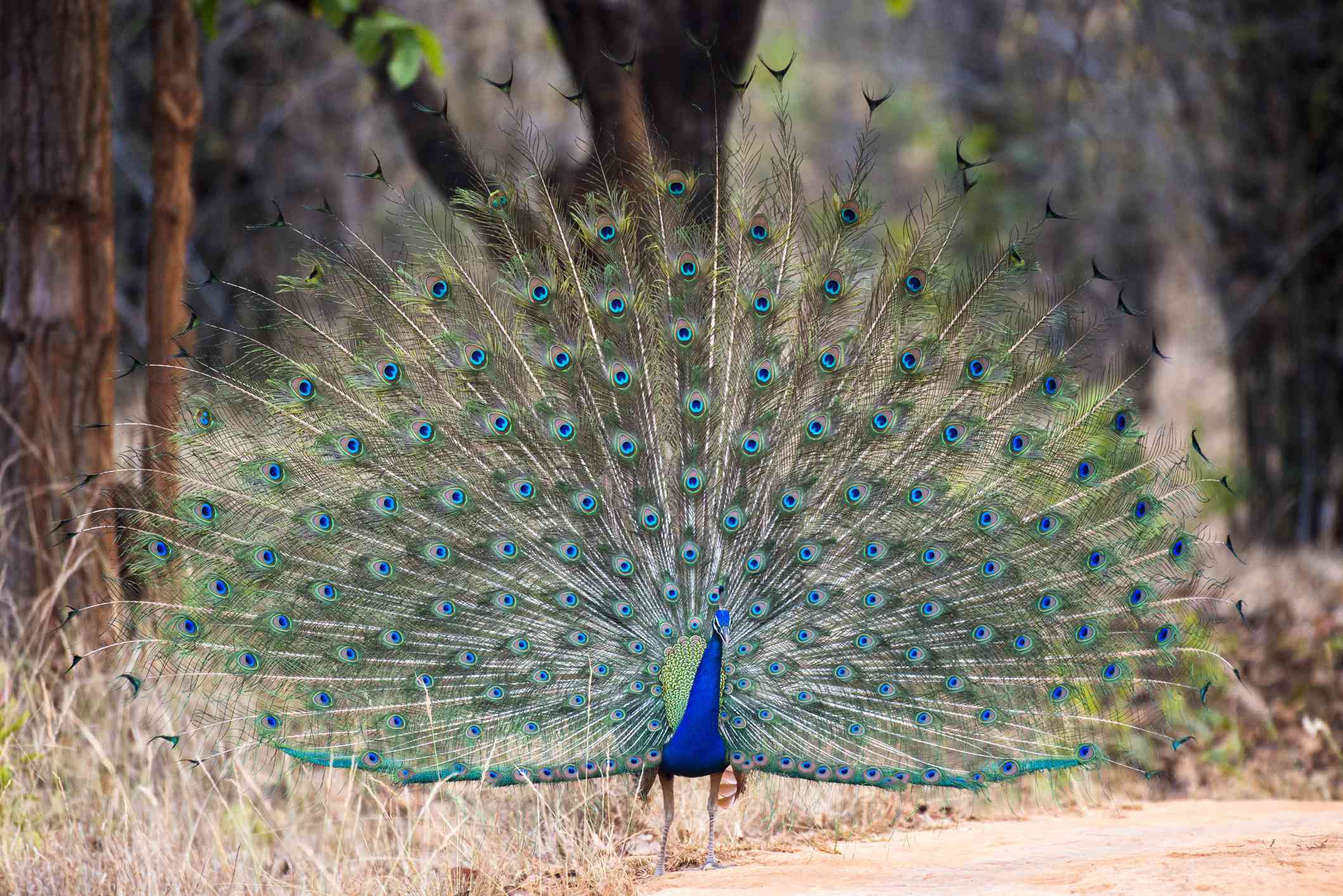 Male Indian peafowl in full display of brilliant feathers