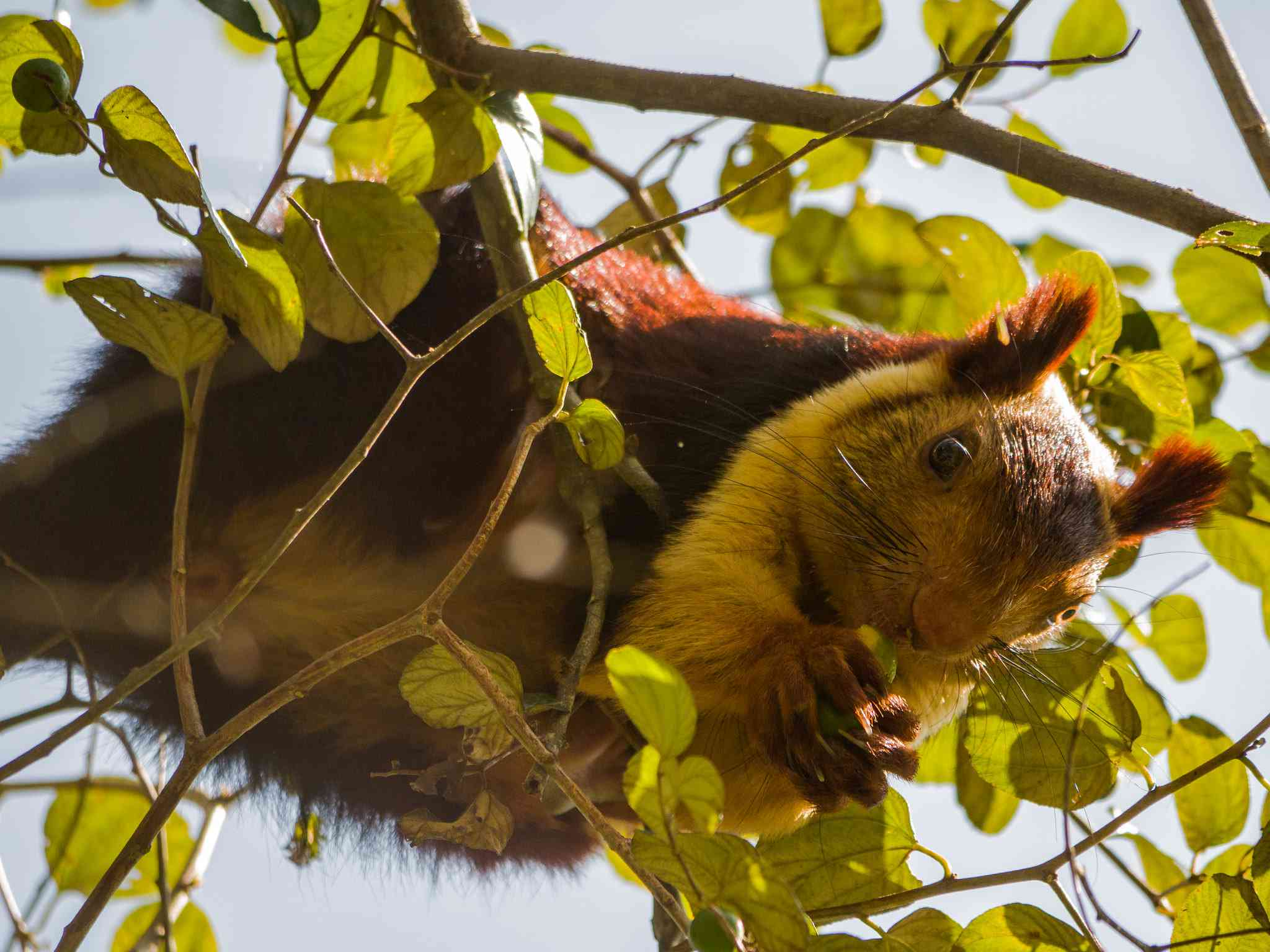 Indian giant squirrel in a tree