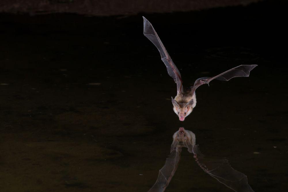 bat flying above water at night