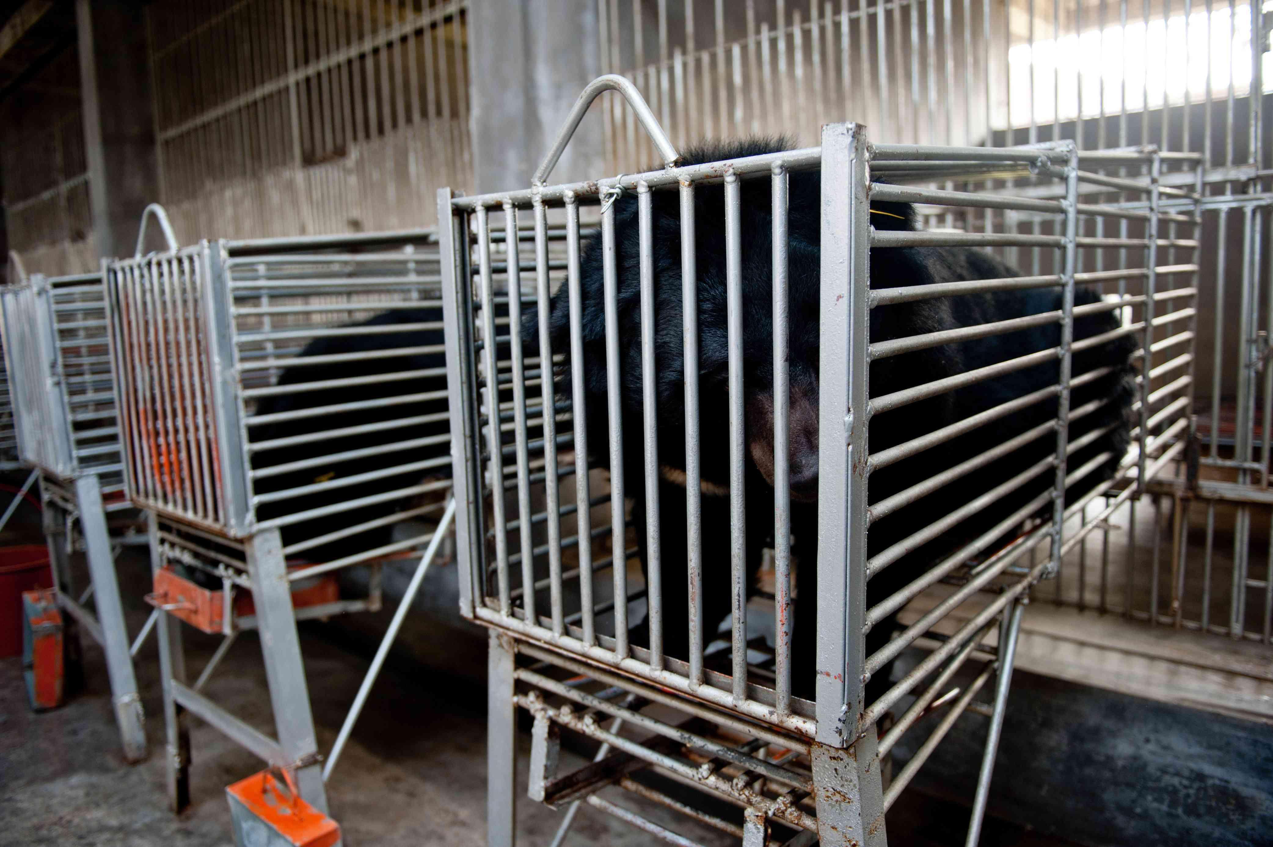 bear bile farm in China