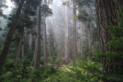 British Columbia old growth forest
