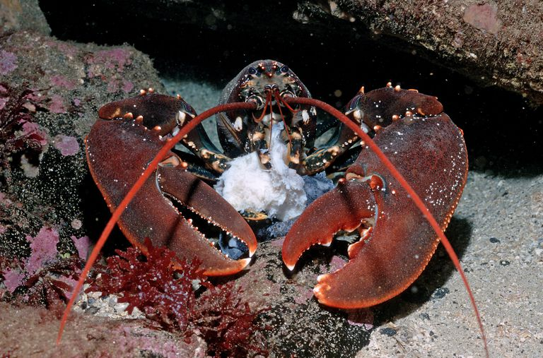Homarus gammarus lobster