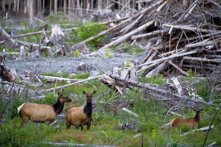 Roosevelt elk in a cut forest