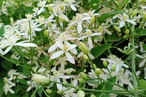 night-blooming jessamine with white flowers and green leaves and stems