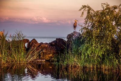 Blue Heron sitting on the shore of Lake Erie at sunset