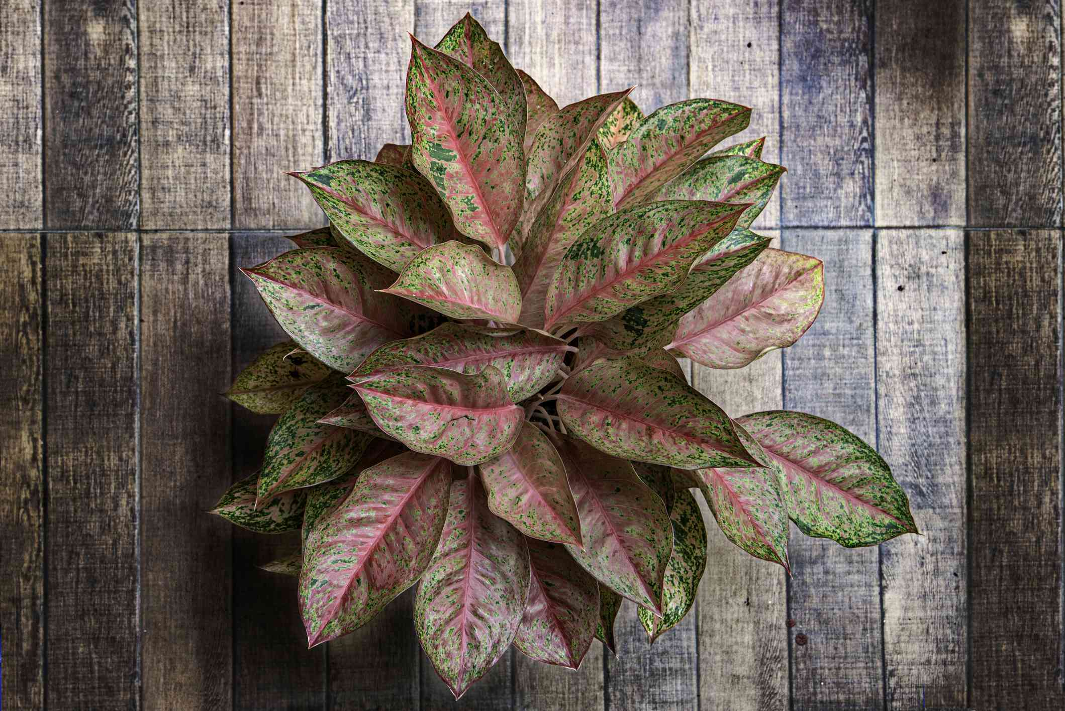 Red peacock aglaonema on a wooden floor