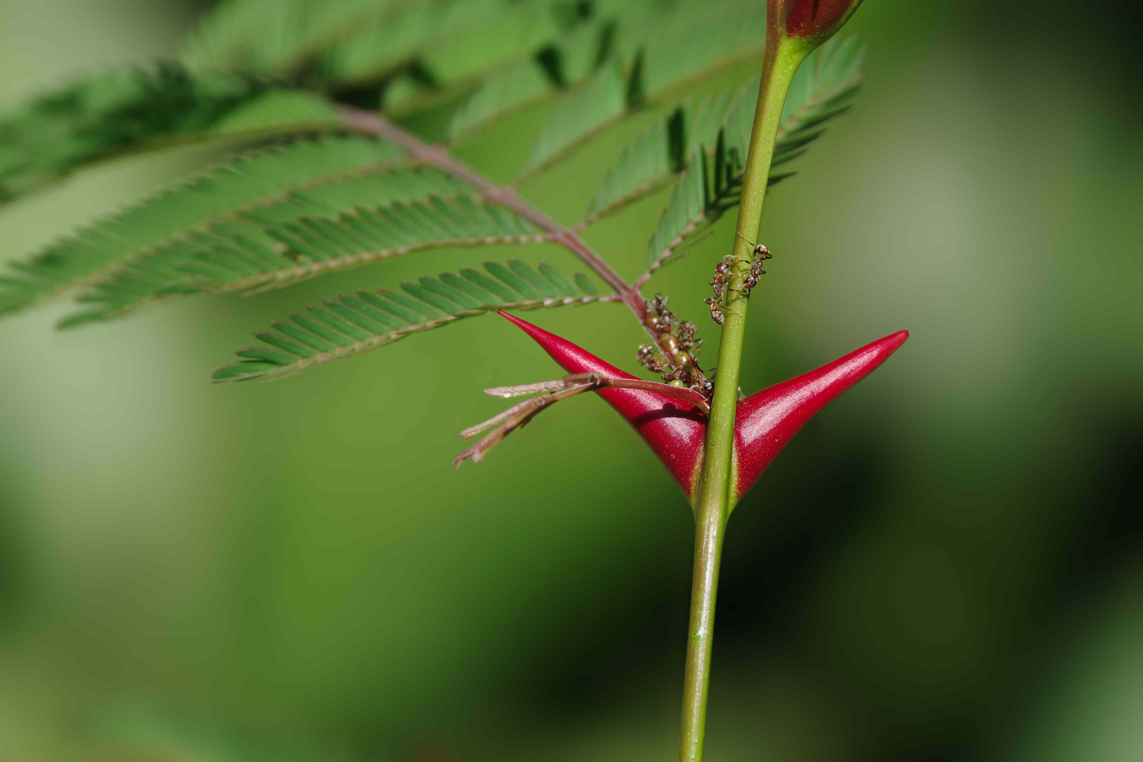 The thorns of the acacia tree not only look unpleasant on the outside, but house unpleasant ants on the inside.