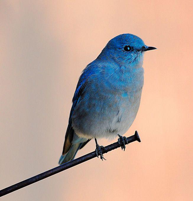 A mountain bluebird perches on a nail