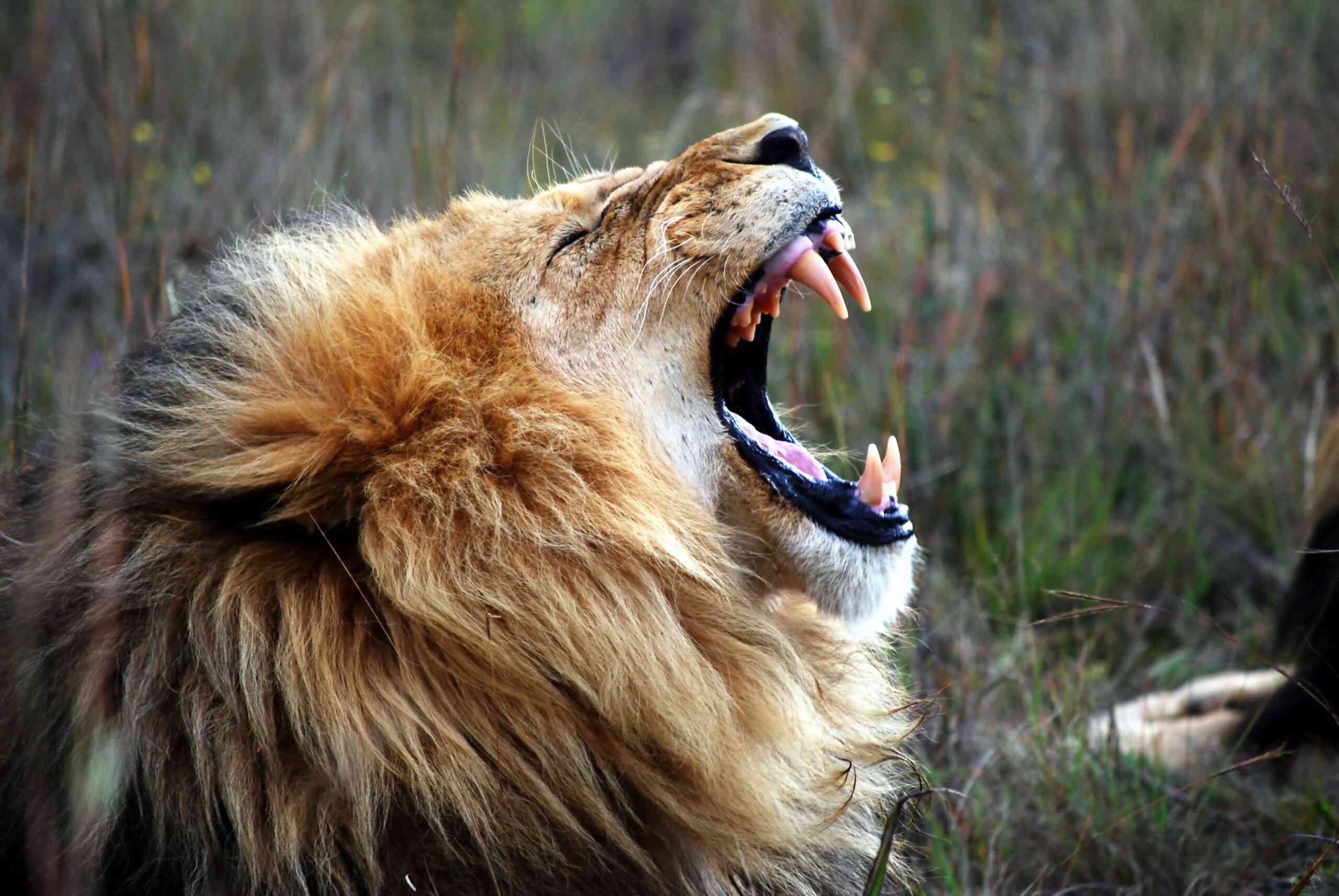 Close-Up Of Lion Roaring On Field At Rhino And Lion Nature Reserve