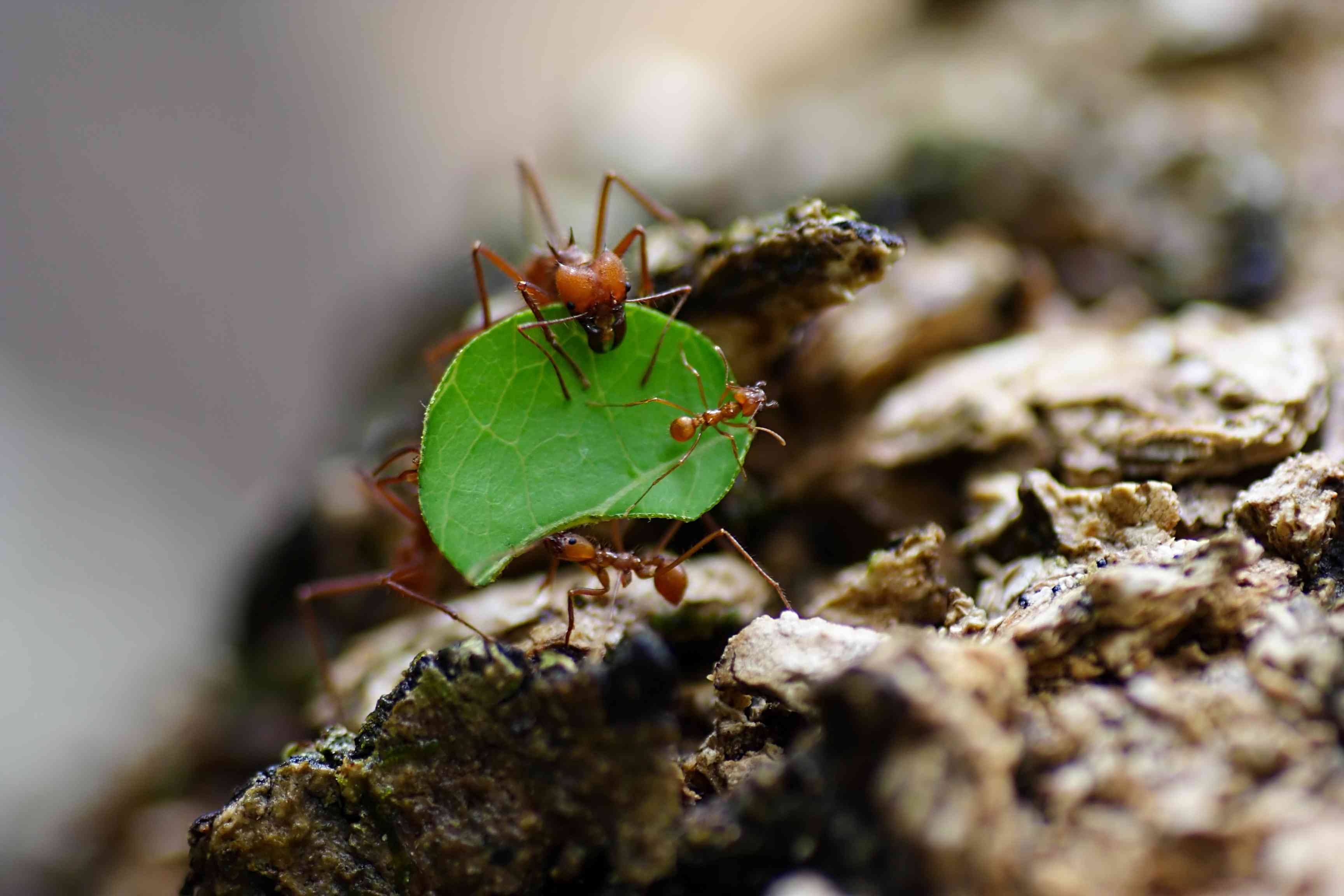 Leaf cutter ant carrying a leaf and other ants