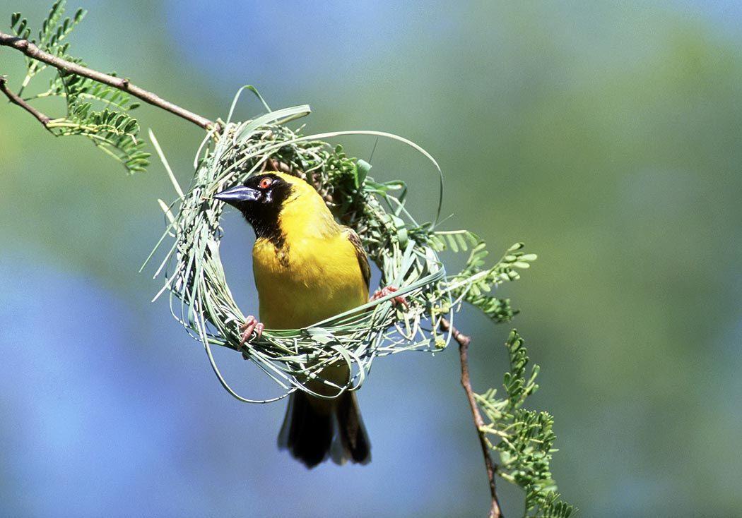 weaver bird photo