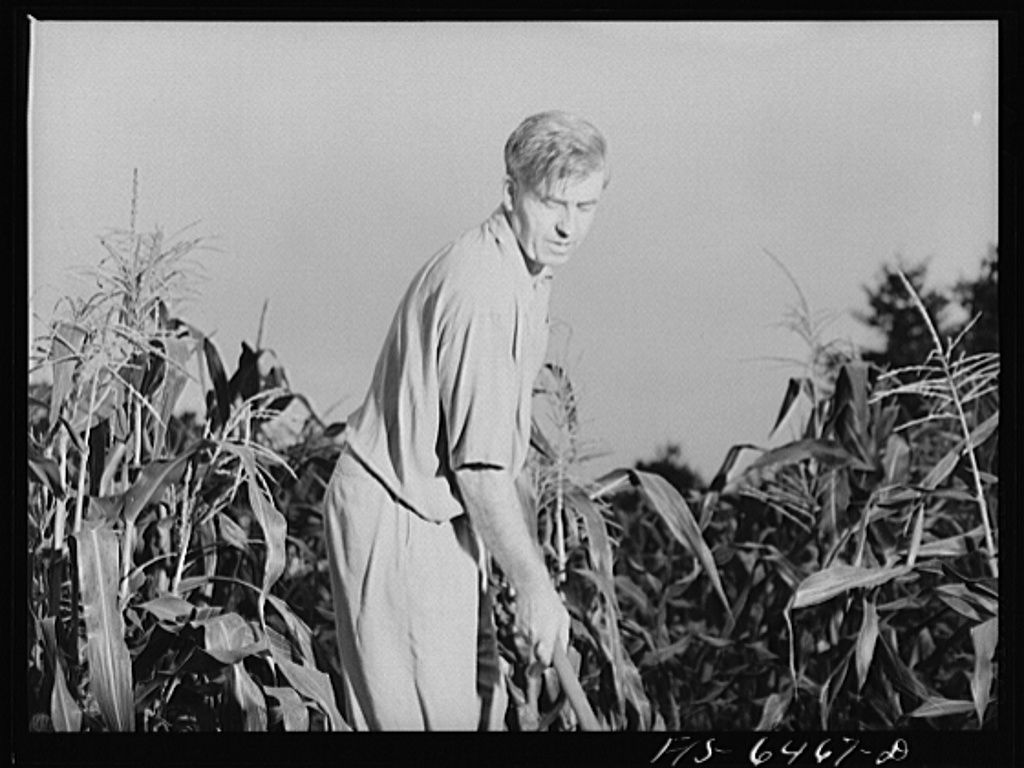 Vice president Henry A. Wallace working in a corn field