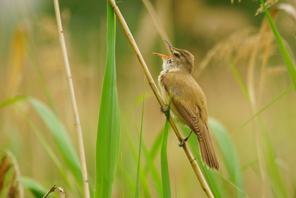 Great reed warbler singing with an open mouth while perched on a plant chute