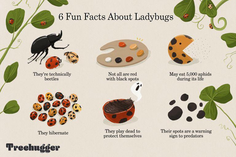 fun facts about ladybugs illo