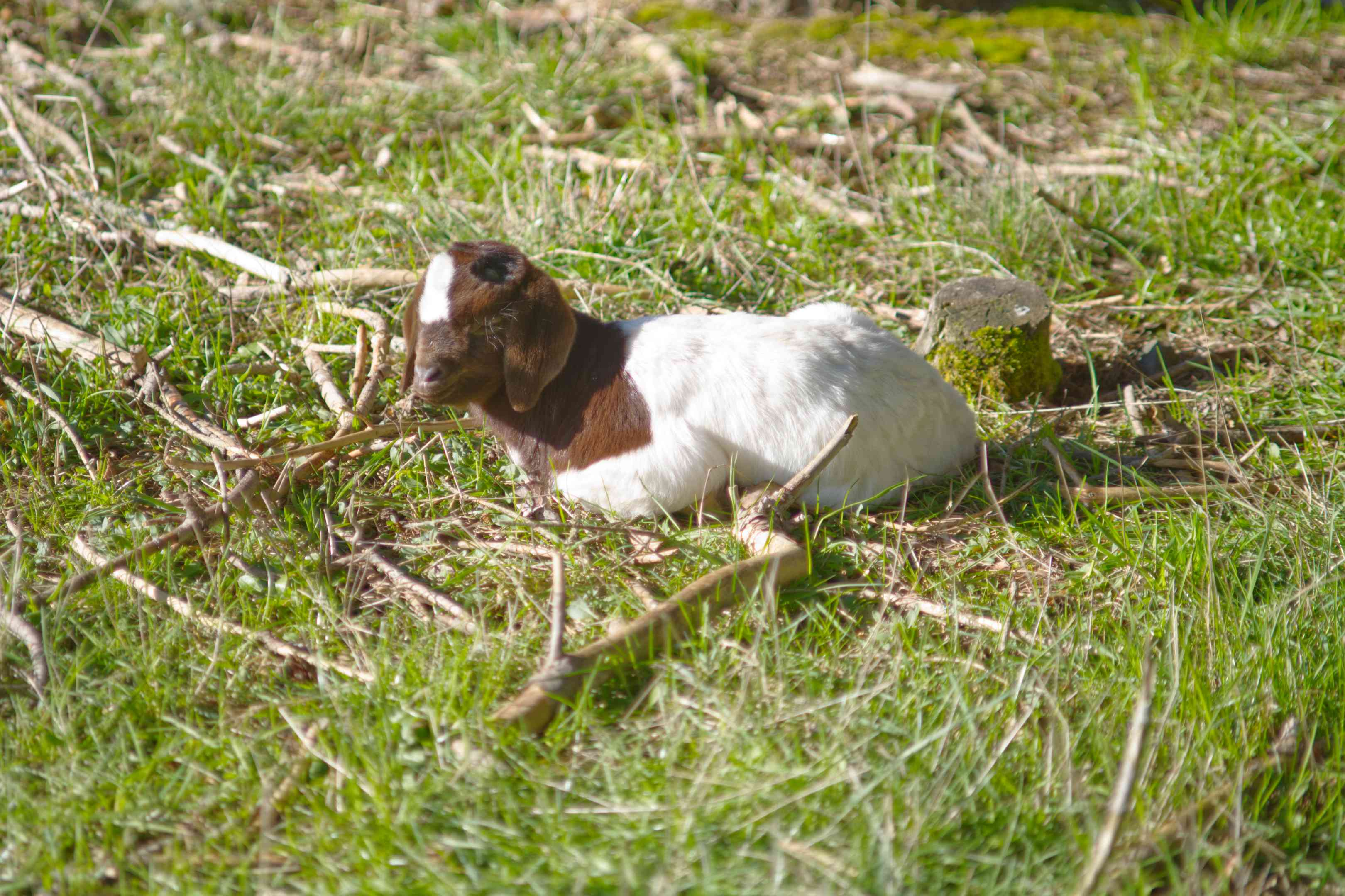 brown and white baby goat sits alone on grassy field