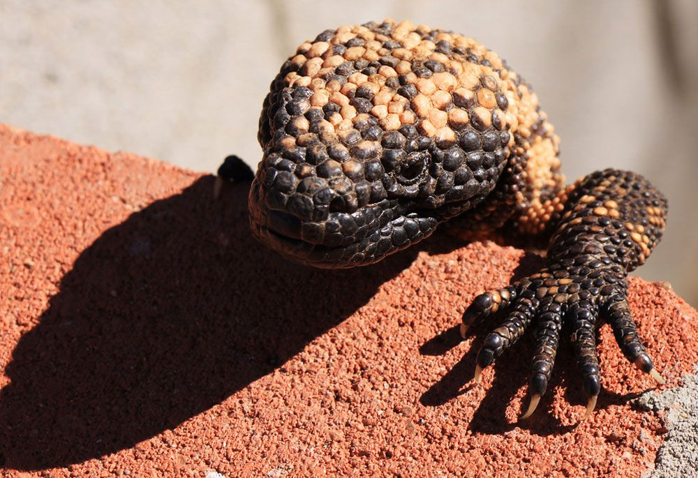 Gila monster head and one arm climping over brick
