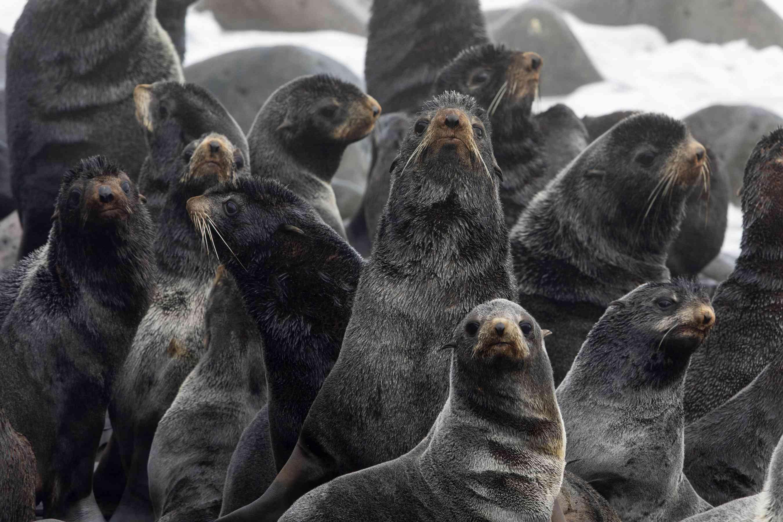 harem of northern fur seals