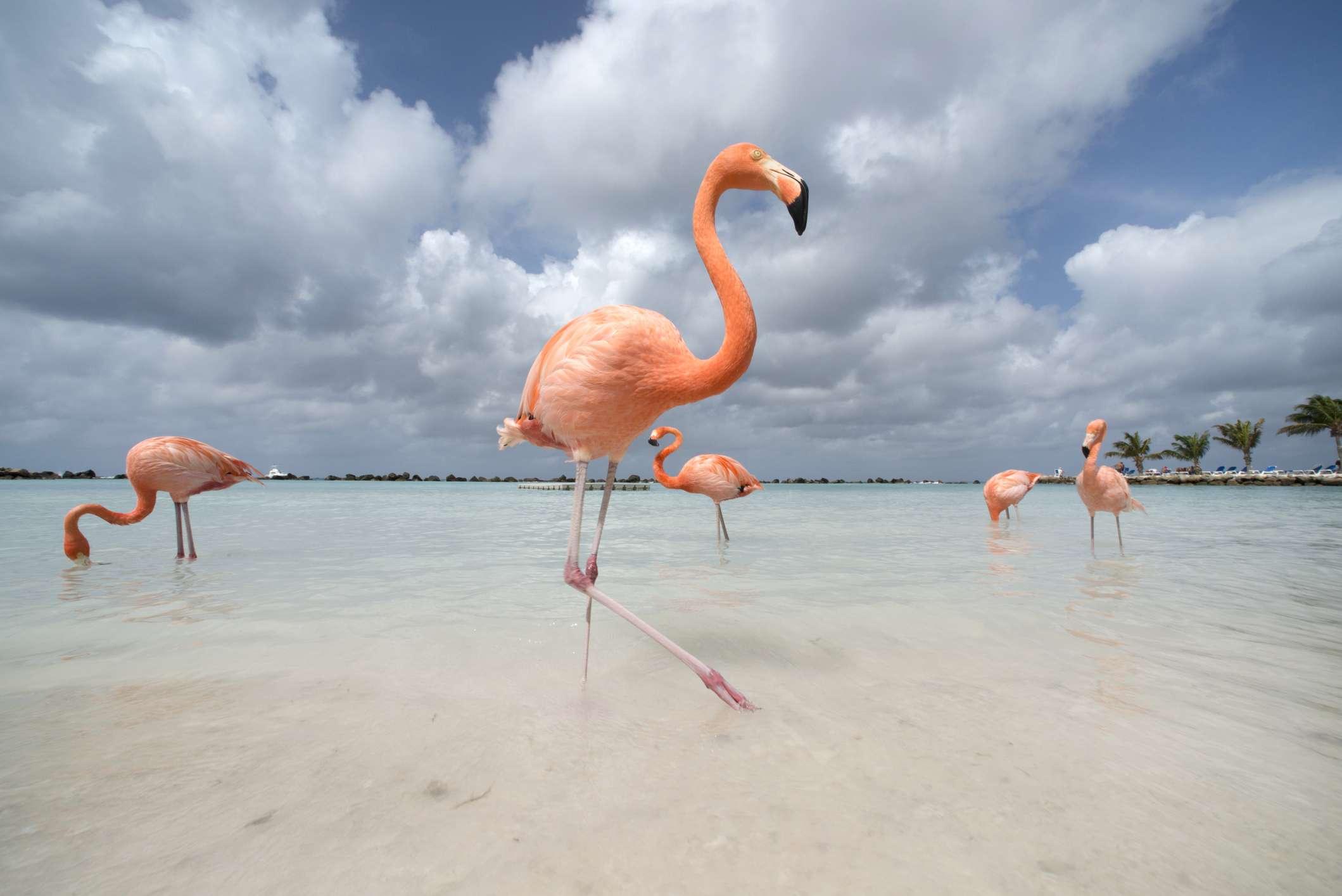 Flamingos at Flamingo Beach, Aruba