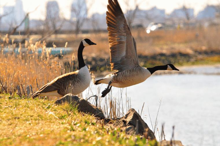 Canadian geese at DeKorte Park, Lyndhurst, NJ