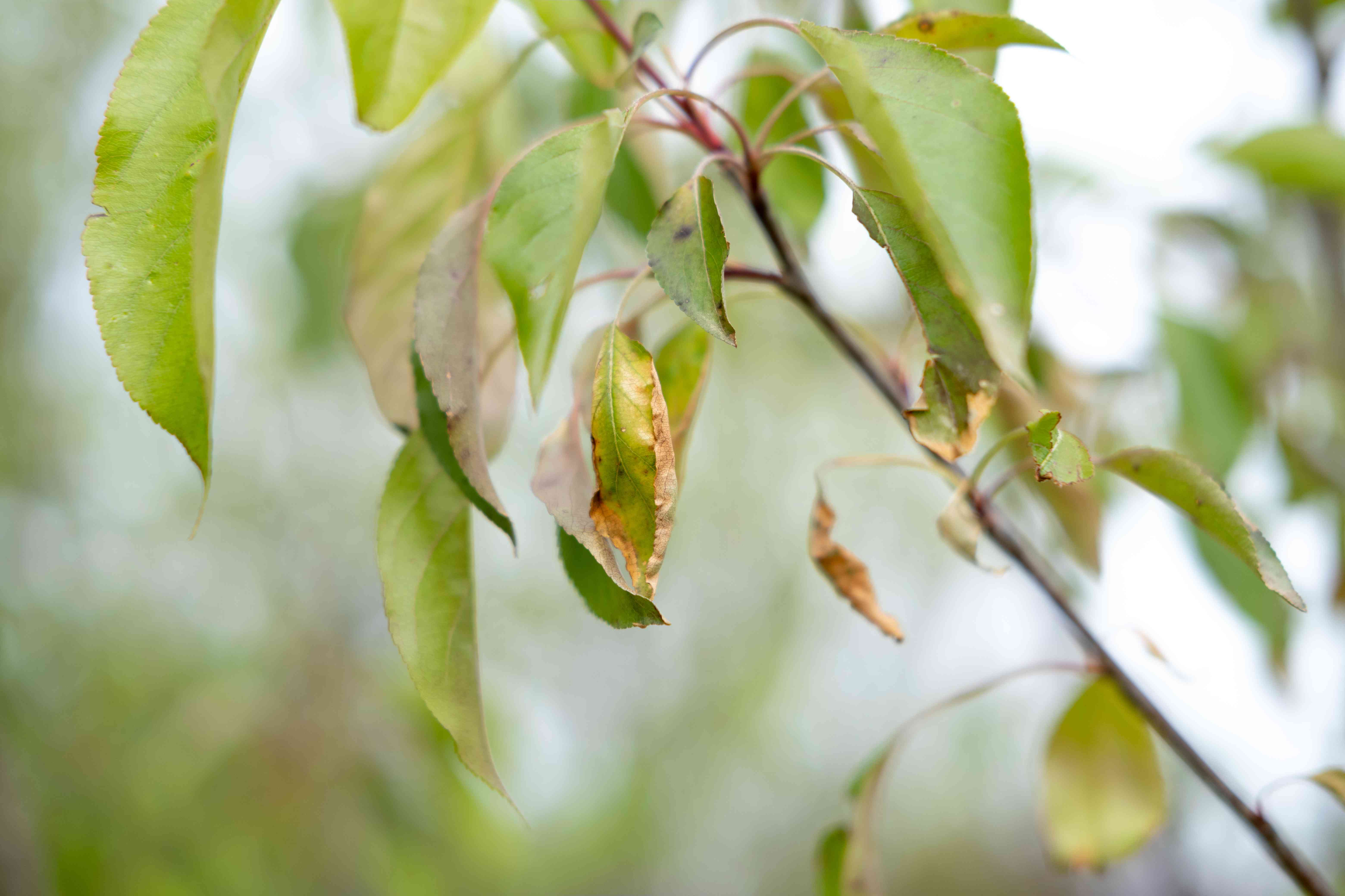 close shot of unhealthy tree branch with shriveled and yellowed leaves