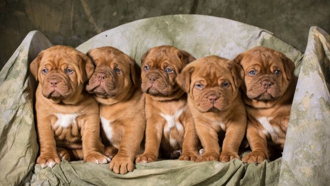 litter of dogue de bordeaux puppies - 5 weeks old