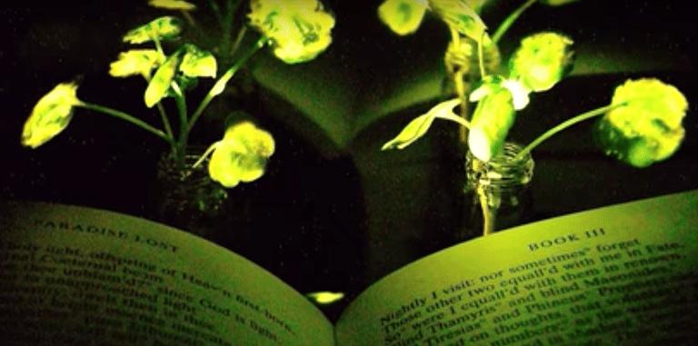Las plantas que brillan intensamente podrían iluminar pronto tu hogar