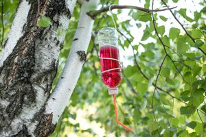 diy hummingbird feeder filled with red nectar hangs from birch tree