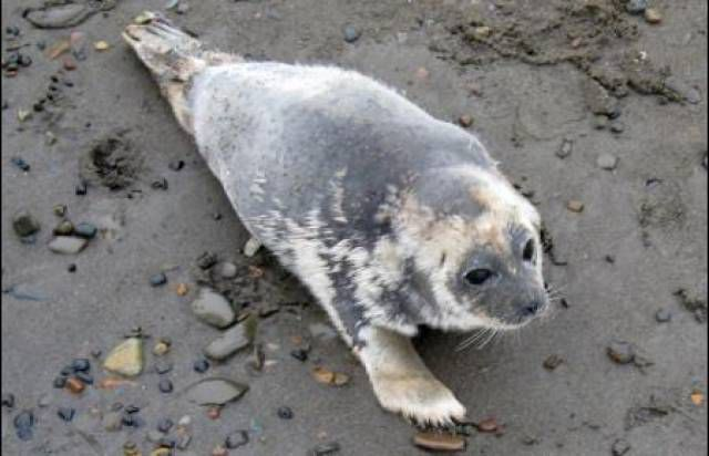 ringed seal with signs of patchy hair loss