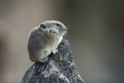 Rocky mountain pika perched on a rock
