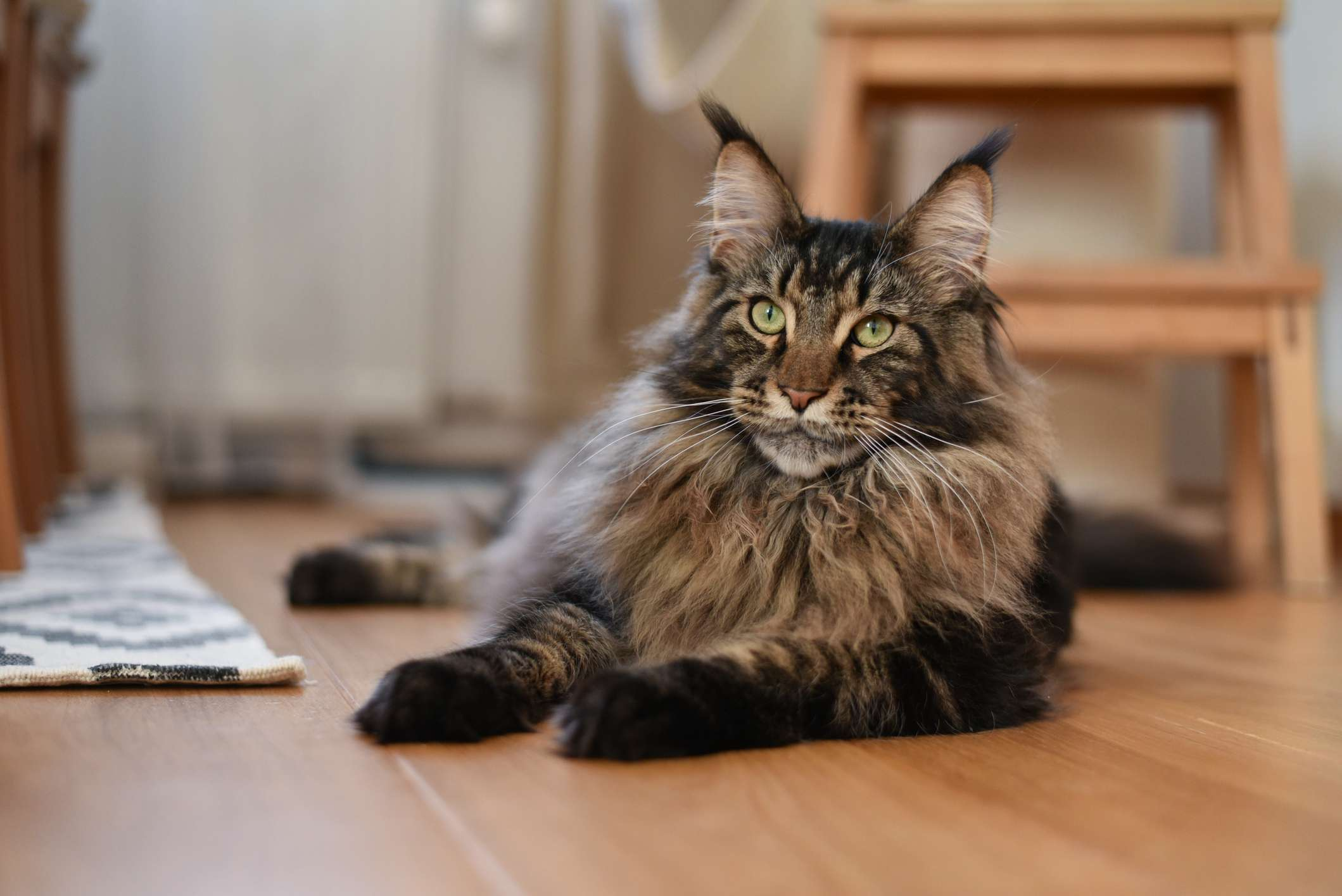 Maine coon cat with paws out, lying on floor