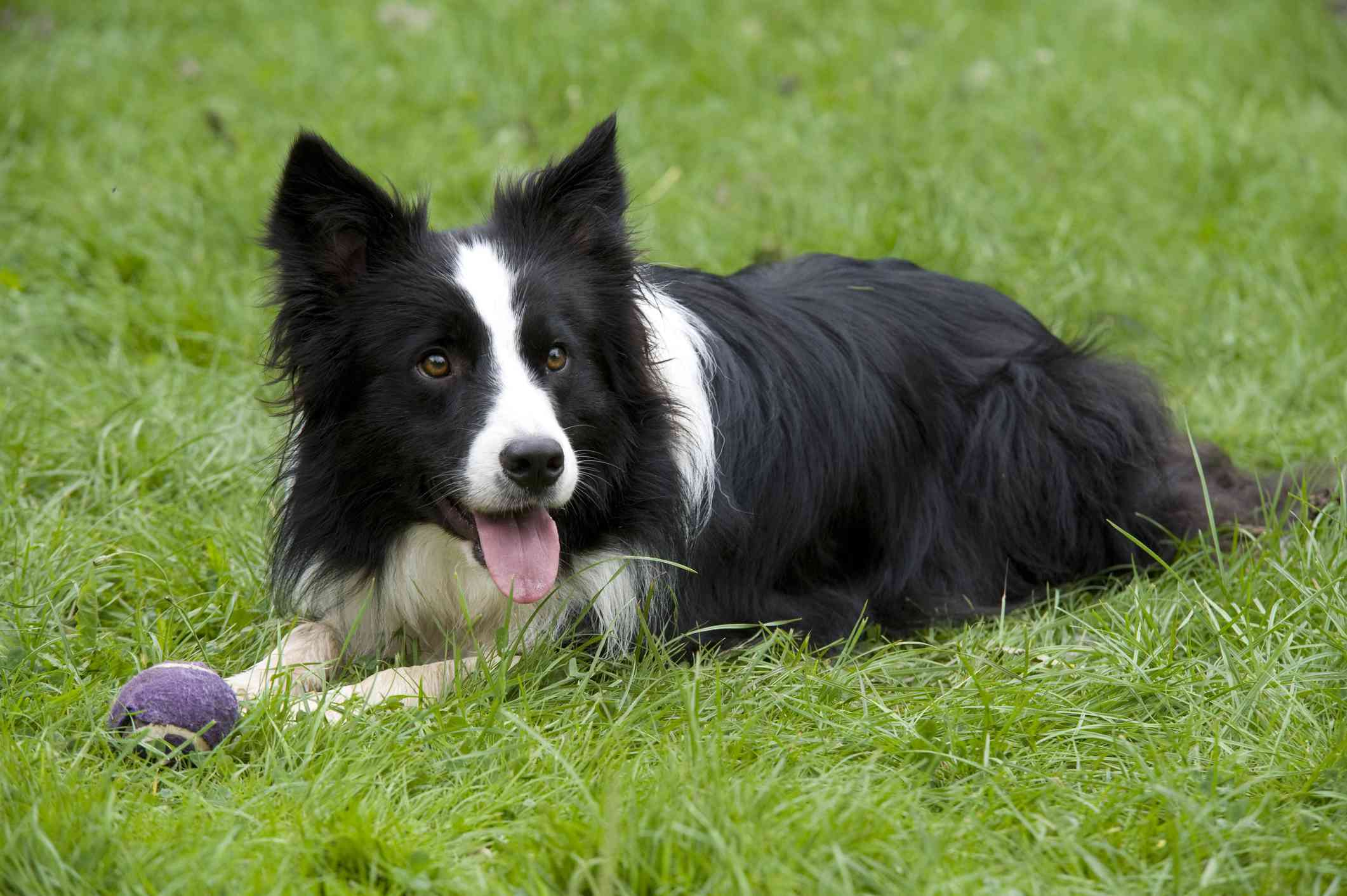 black and white border collie lying in green grass with purple tennis ball