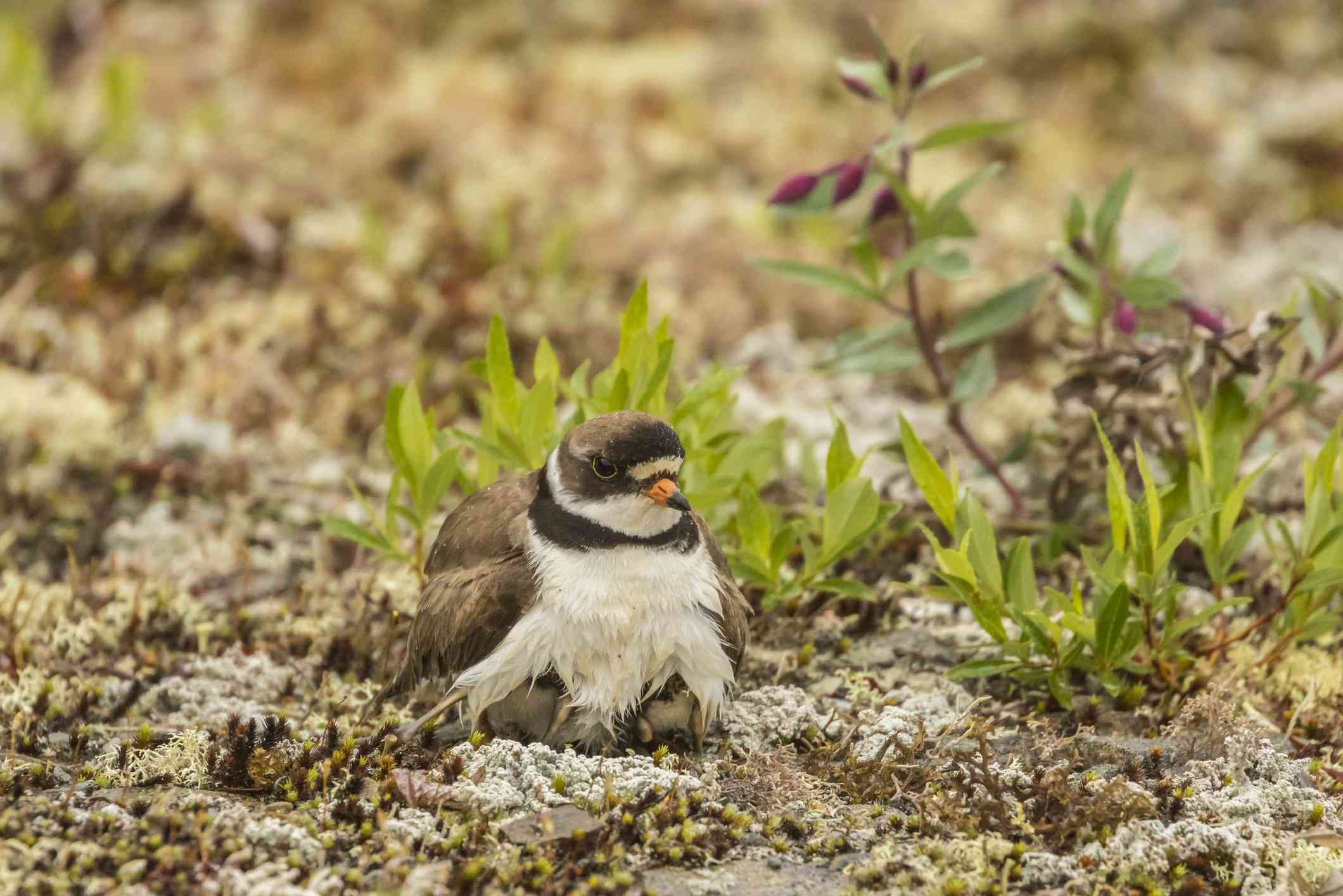 Semipalmated plover (Charadrius semipalmatus) adult with brooding chicks on the ground in Nome, Alaska