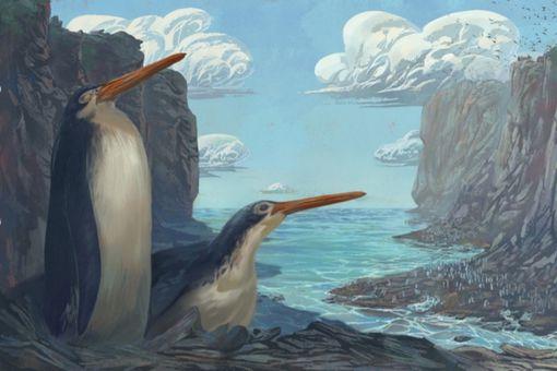 The Kawhia giant penguin Kairuku waewaeroa