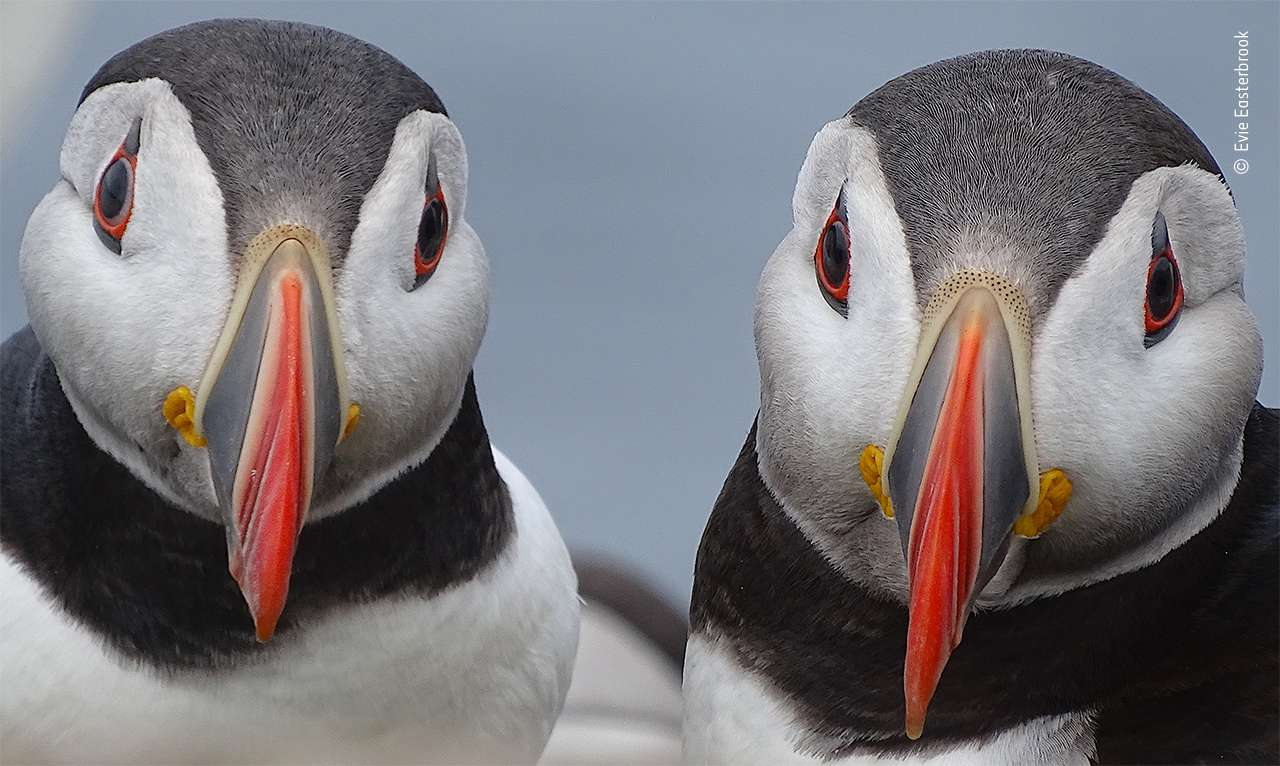'Paired-Up Puffins' by Evie Easterbook