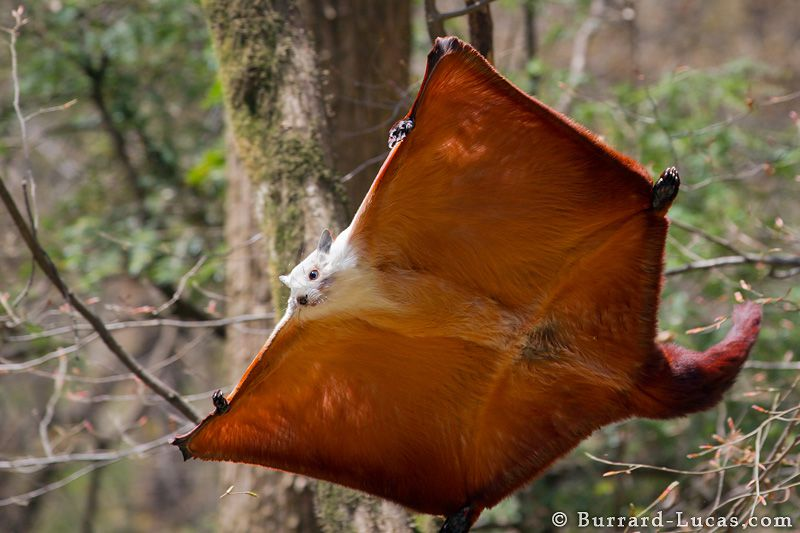 red and white giant flying squirrel, Petaurista alborufus