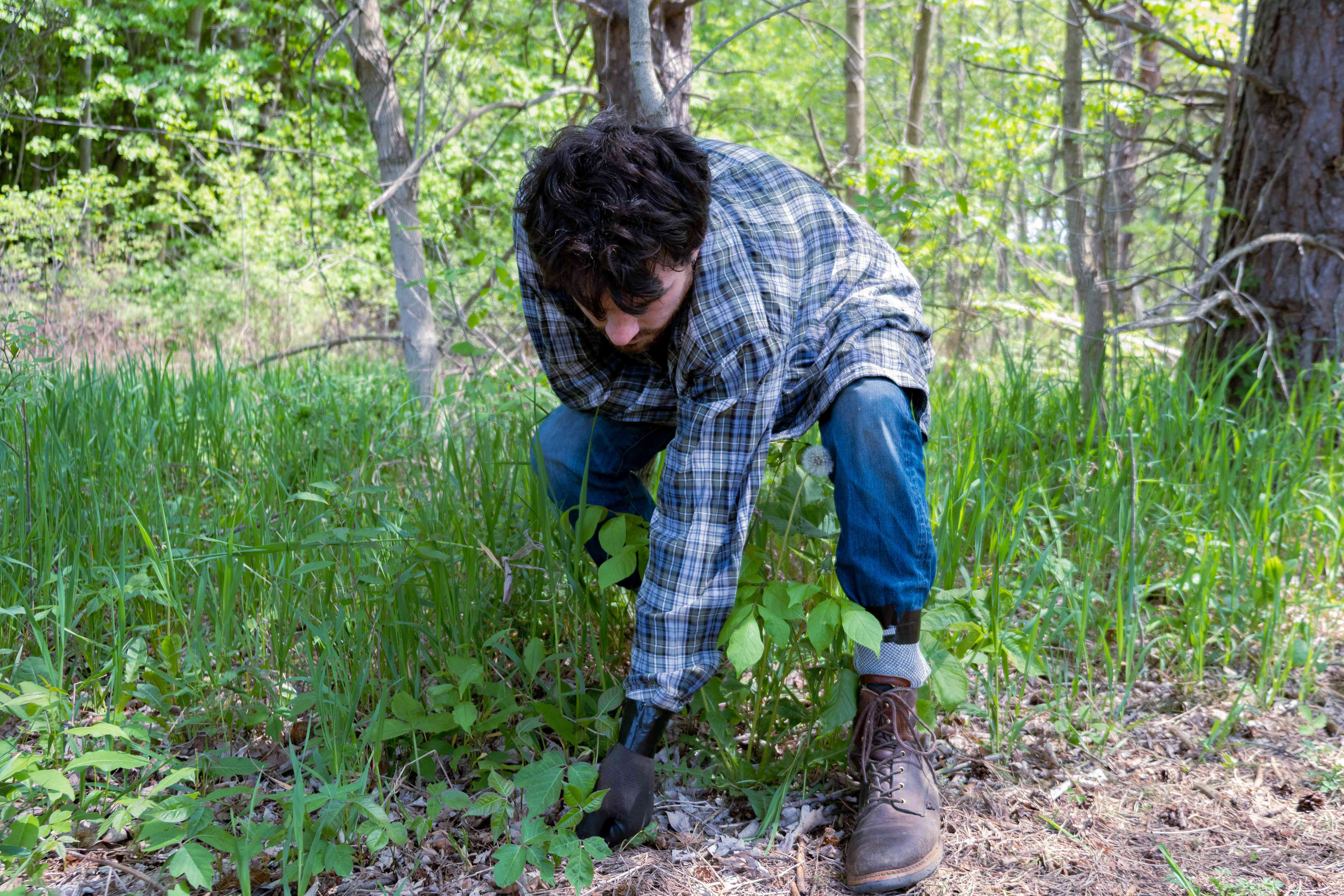 man wearing long-sleeved shirt and duct-taped pants pulls up poison ivy from forest floor