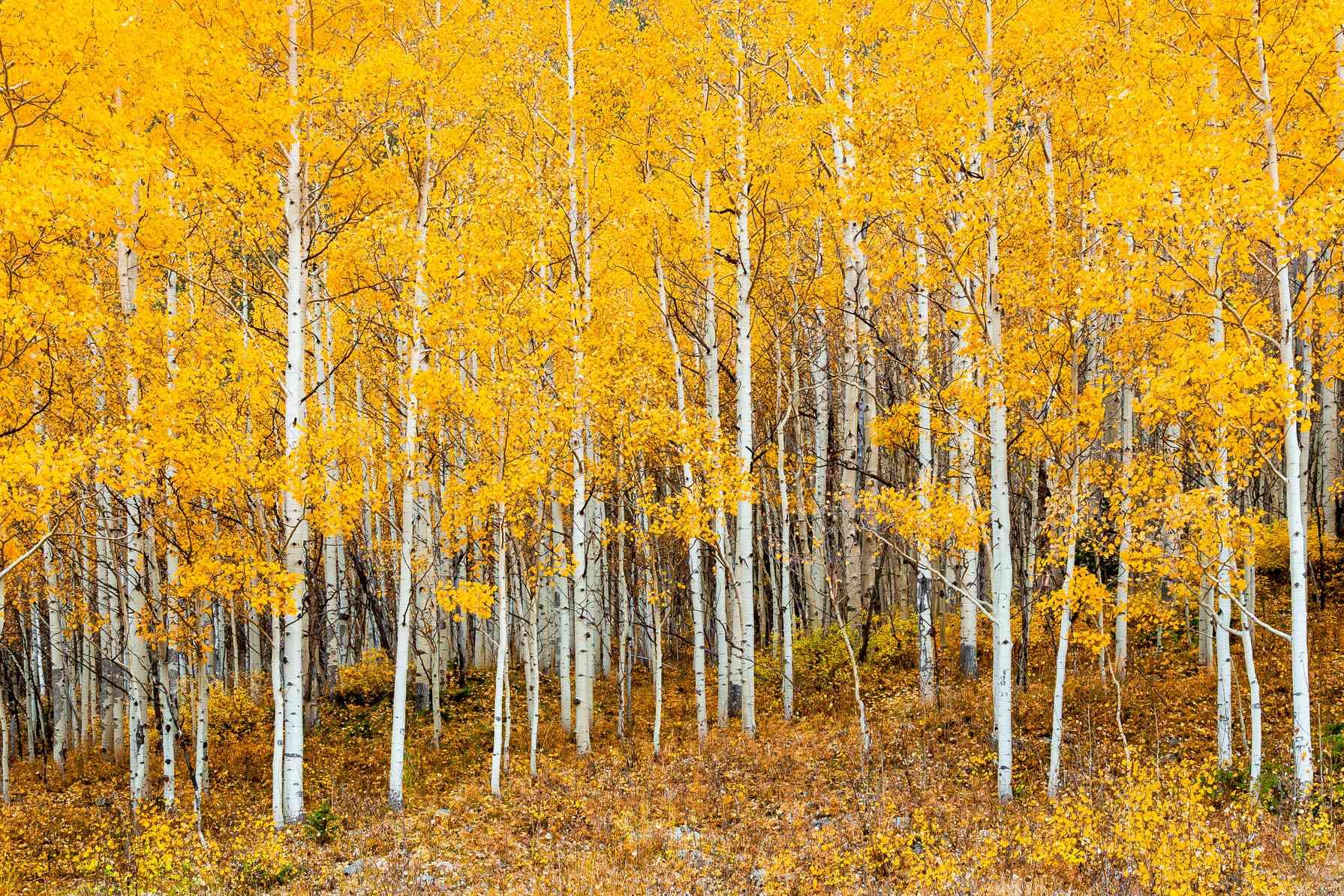 Bright-yellow quaking aspen grove during autumn