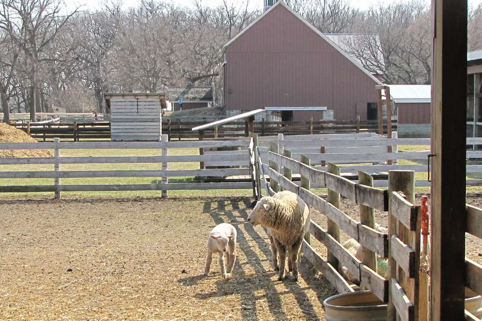 Sheep in a fenced pen on a traditional farm