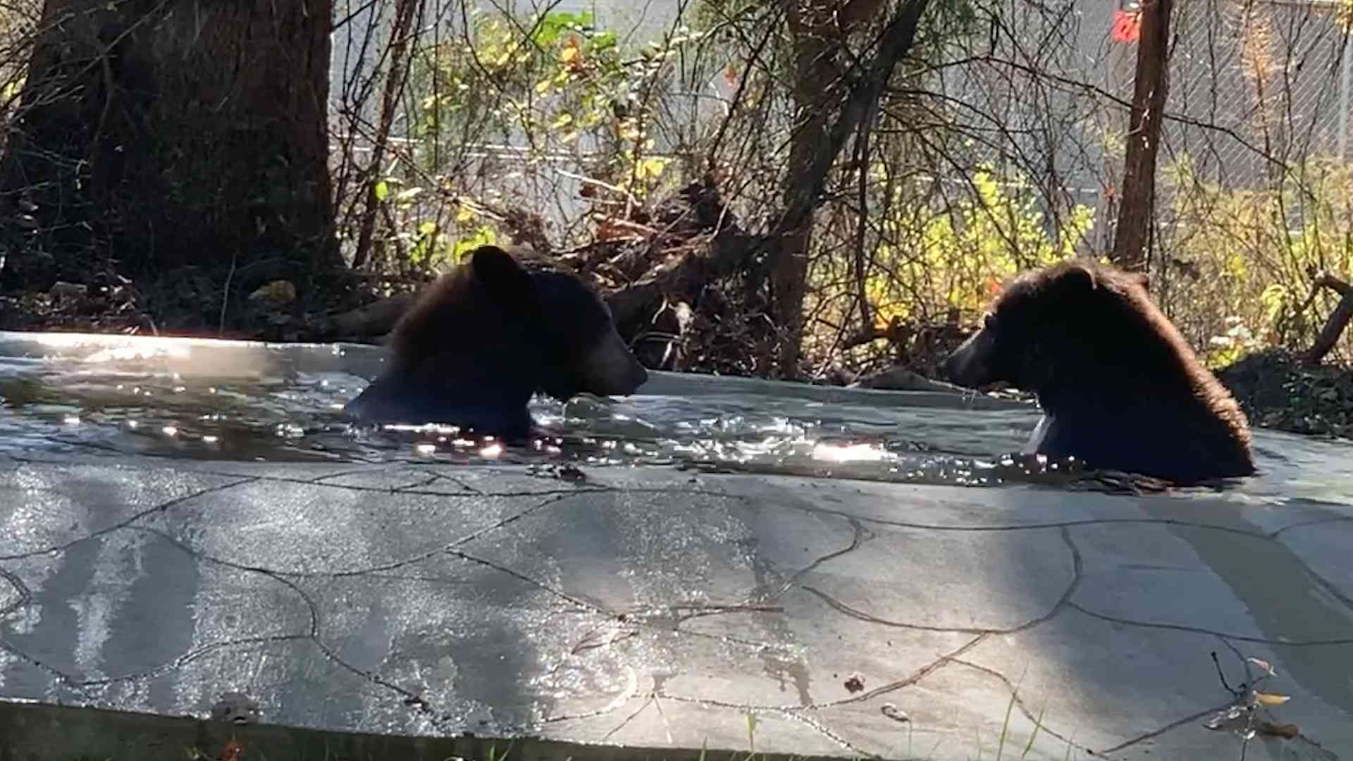 Bears Jackie and Russell swim in their new home.
