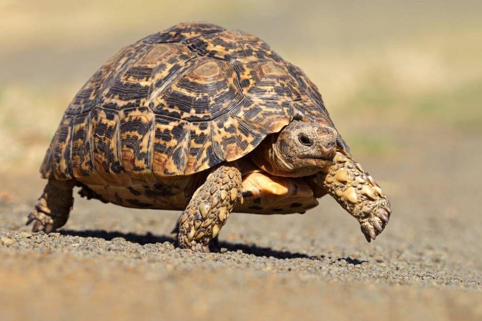 Leopard tortoise walking on rocks