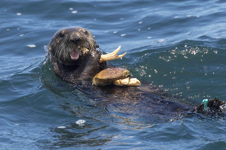 sea otter at Elkhorn Slough, California