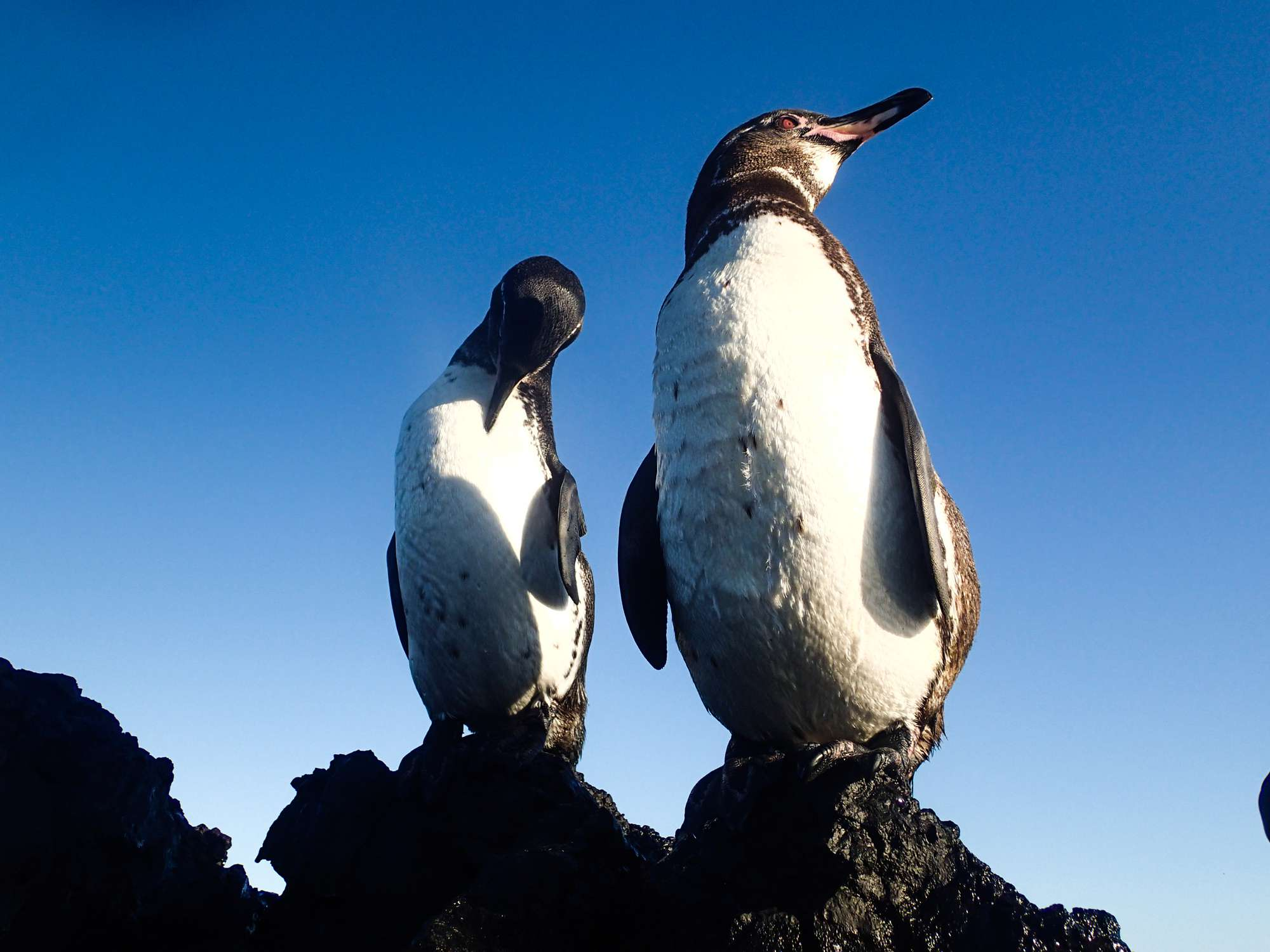 A pair of Galapagos penguins stand on a rocky overlook on a day with a beautiful blue sky.