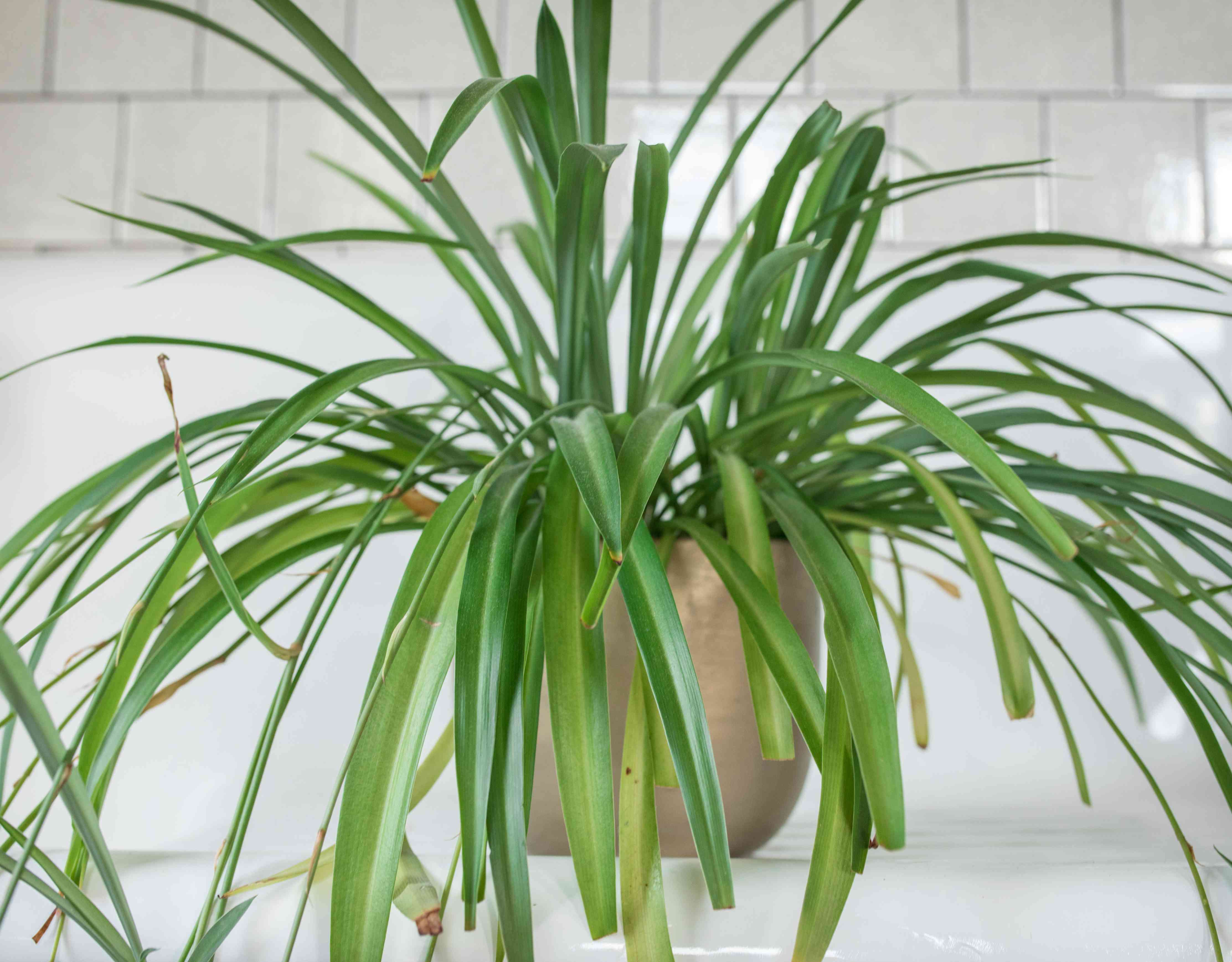 large spider plant in metallic container in white tile bathroom