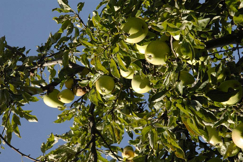 An apple tree bearing fruit in the sun.