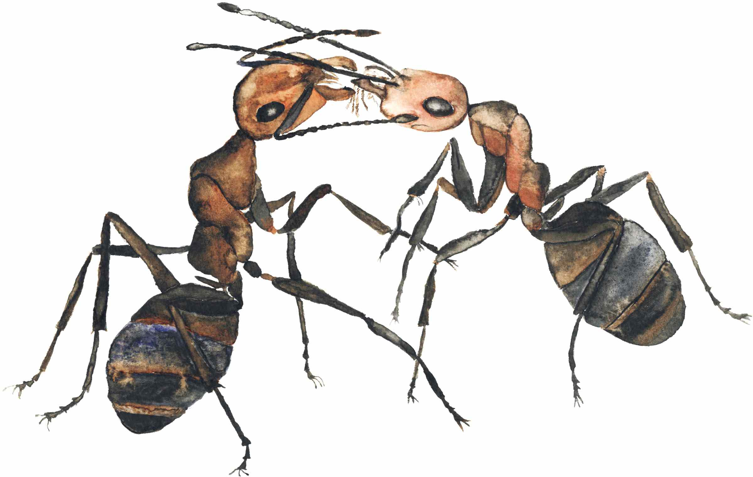 two ants watercolor
