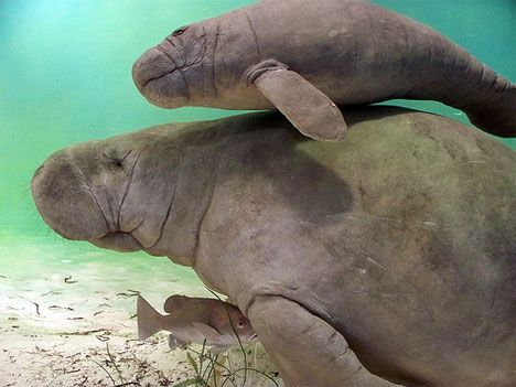 manatee cow and calf photo