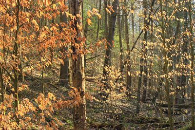 Forest of American beech trees in autumn
