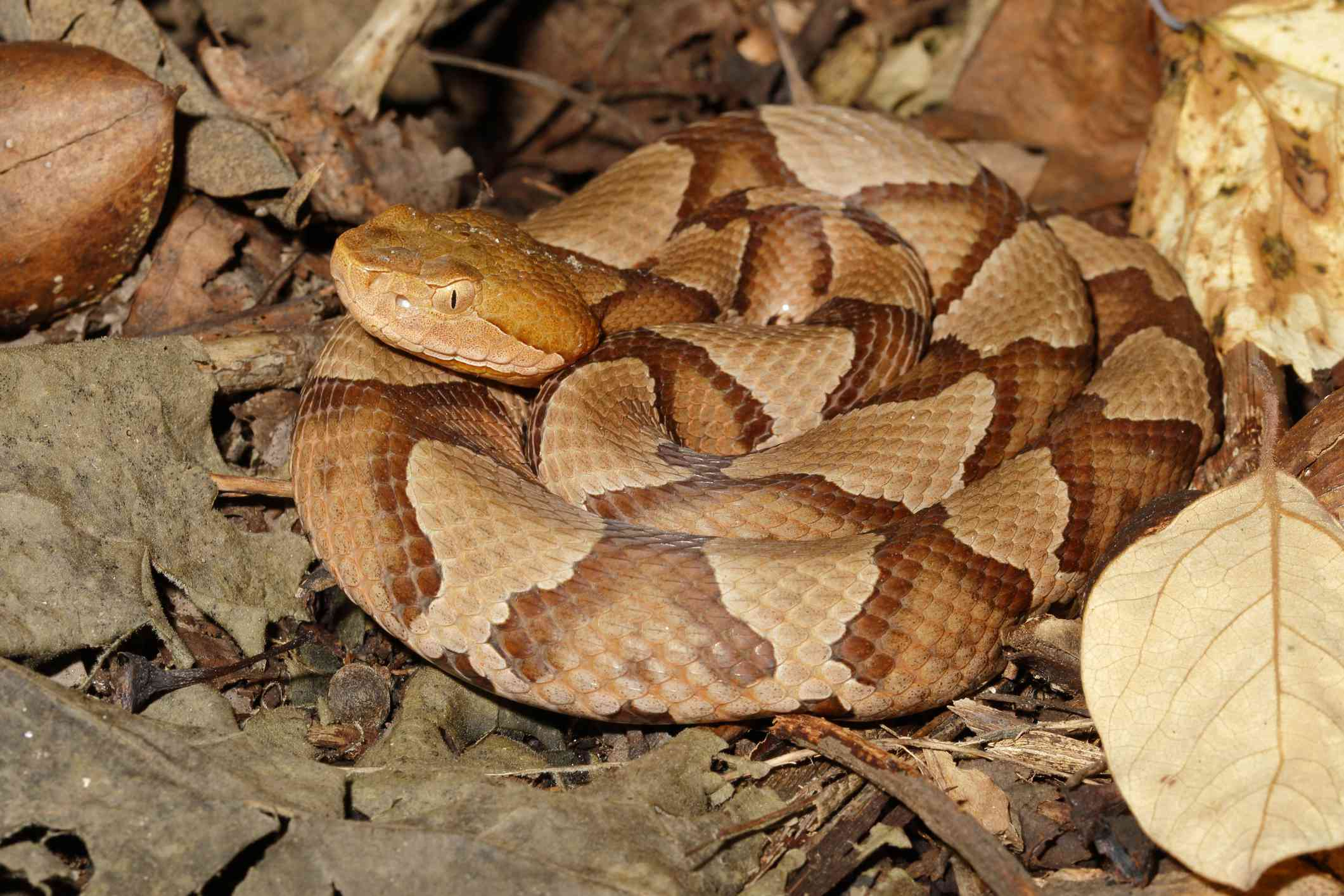 An orange and tan copperhead curled up on dried leaves