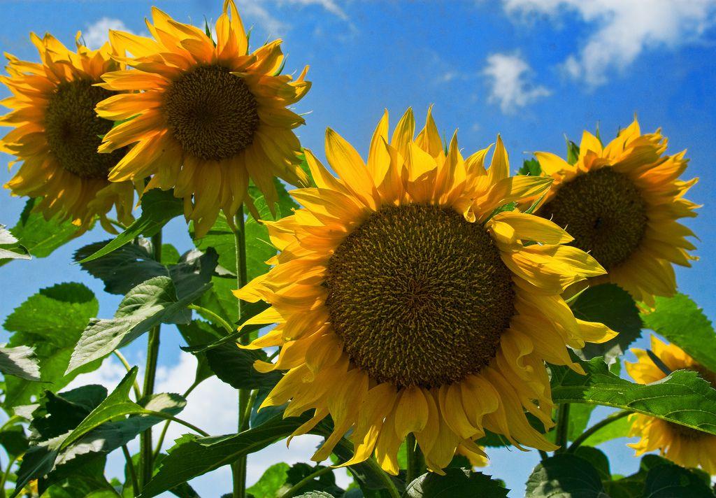 sunflowers against blue sky